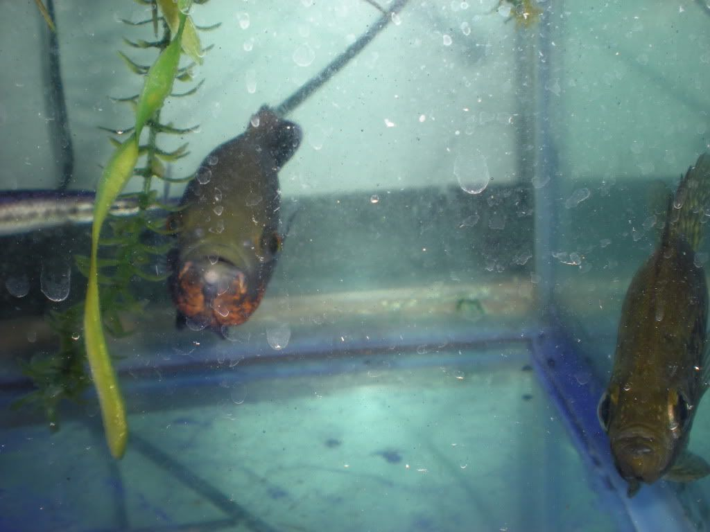 Pictures of some of my fish TFH003