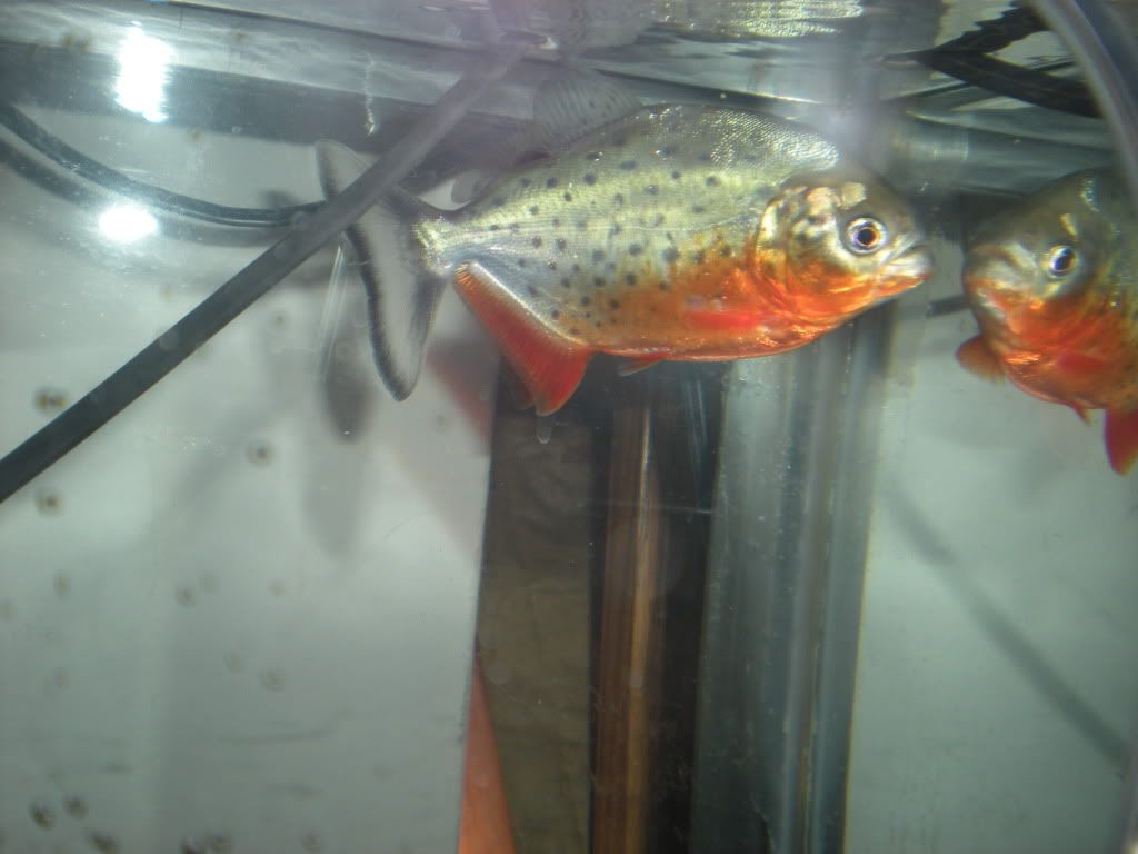 Pictures of some of my fish TFH013