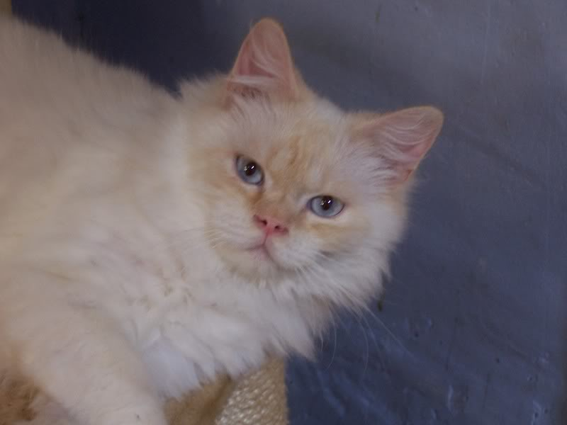 creme silver tabby point 100B5022