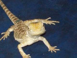 Here Lizard-Lizard! 015