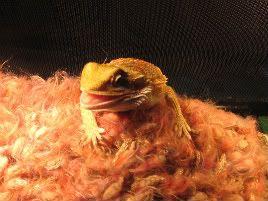 Here Lizard-Lizard! IMG_1797_1-1