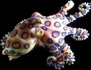 Do you Sea what I Sea?  Blueringedoctopus
