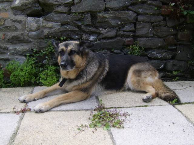 Bear active 10 year old female GSD Kande2009july038