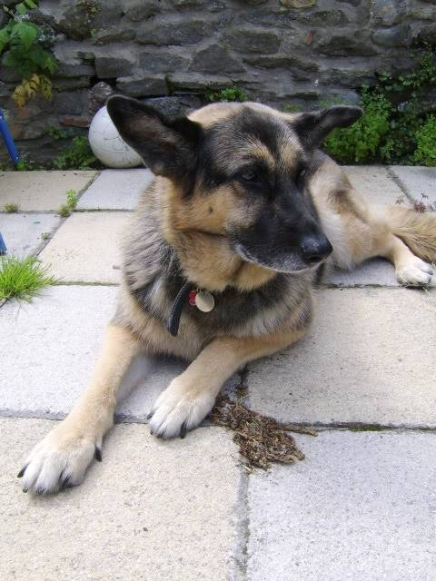 Bear active 10 year old female GSD Kande2009july039