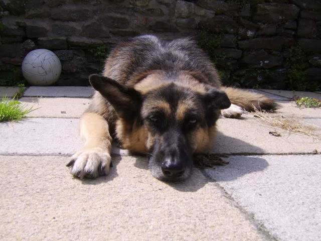 Bear active 10 year old female GSD Kande2009july040