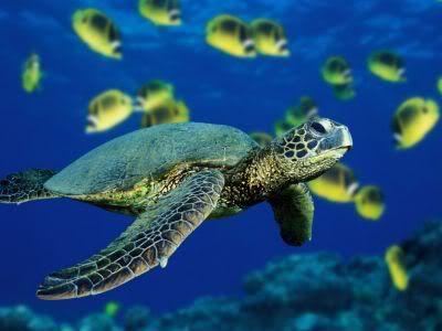 Podvodni cudesni svet - Page 3 Gex_green-sea-turtle