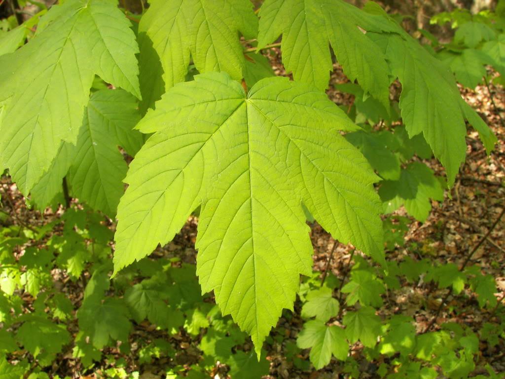 Acer Palmatum Atropurpureum Acer_pseudoplatanus_002