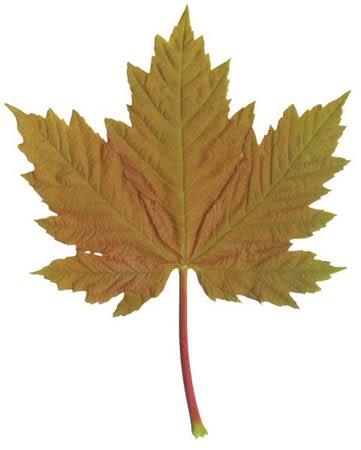 Acer Palmatum Atropurpureum Acerpseudoplatanus