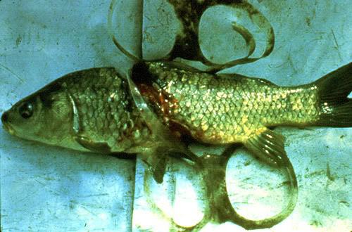 Sacs plastiques et toute sorte d'objet fait en plastique = danger pour les animaux (explication + photos + vidéo) Fish6pack_500x330