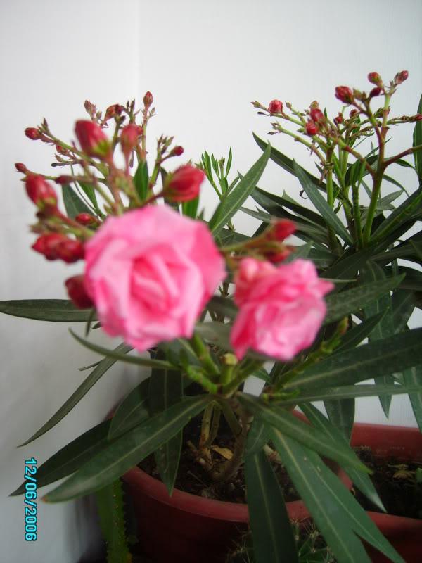 ce planta este asta??? (identificare plante ) ! Floaredeleandru