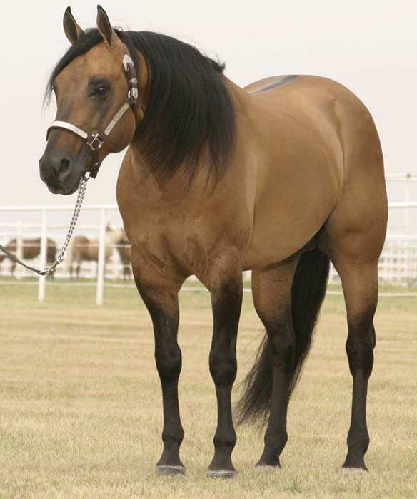 QH Stallions for breeding service! (Not for sale.) BarbiesDunItAQHAStallionlg