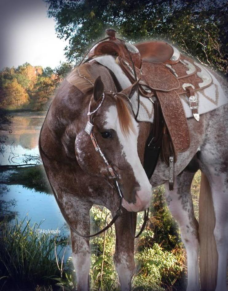 Champion Stallion Skipa Splash is for sale! Skipa_Splash_Head-742x947