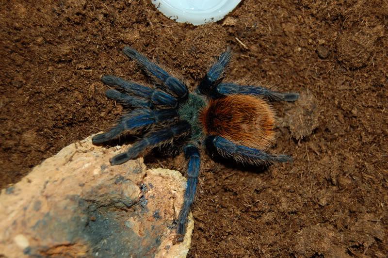 Chromatopelma cyanopubescens DSC_0011