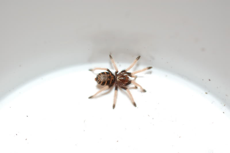 Chromatopelma cyanopubescens DSC_0013