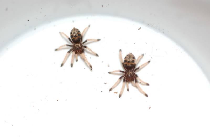 Chromatopelma cyanopubescens DSC_0015