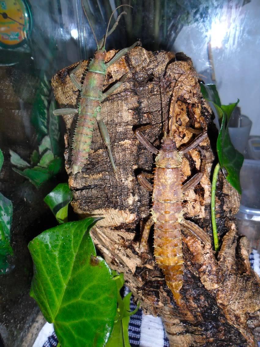 Eurycantha calcarata SAM_1540