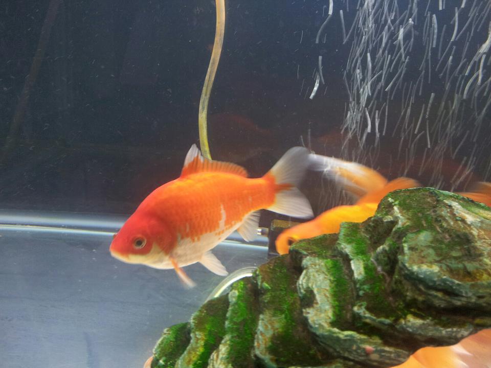 Goldfish Fry - picture heavy 397715_10200195497960095_1116678746_n_zps65c6198d