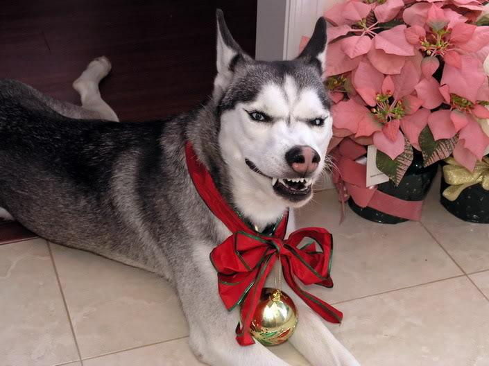 Comedic Husky Picture Thread 9