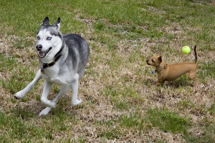 Comedic Husky Picture Thread Chase