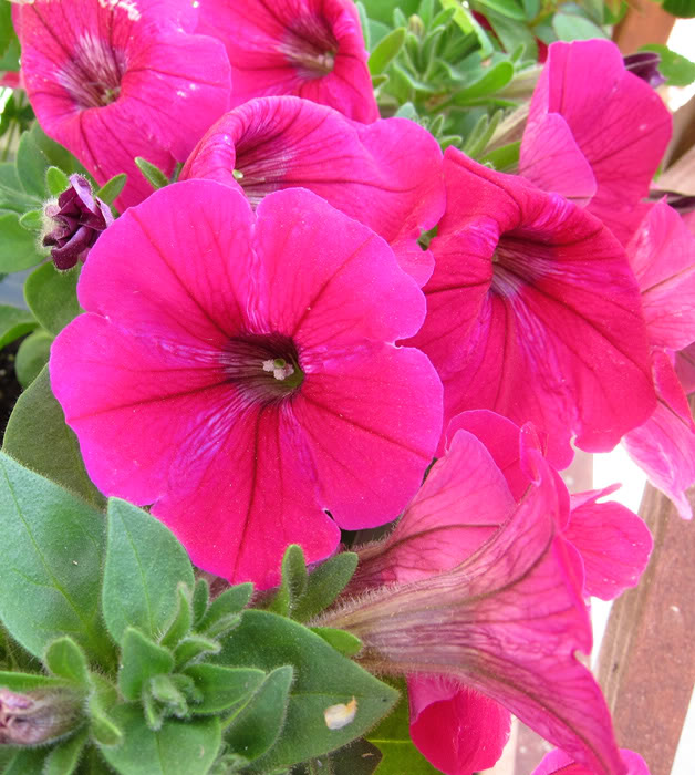 Val's 2011 gardening thread - Page 3 PinkPetunia