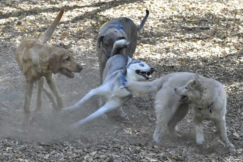Comedic Husky Picture Thread _DSC3195