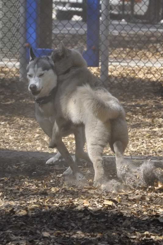 Comedic Husky Picture Thread _DSC3222