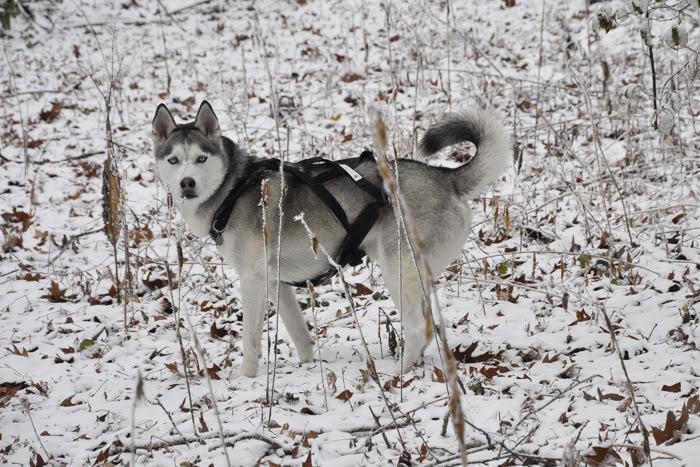Husky Coat Colors _DSC8876