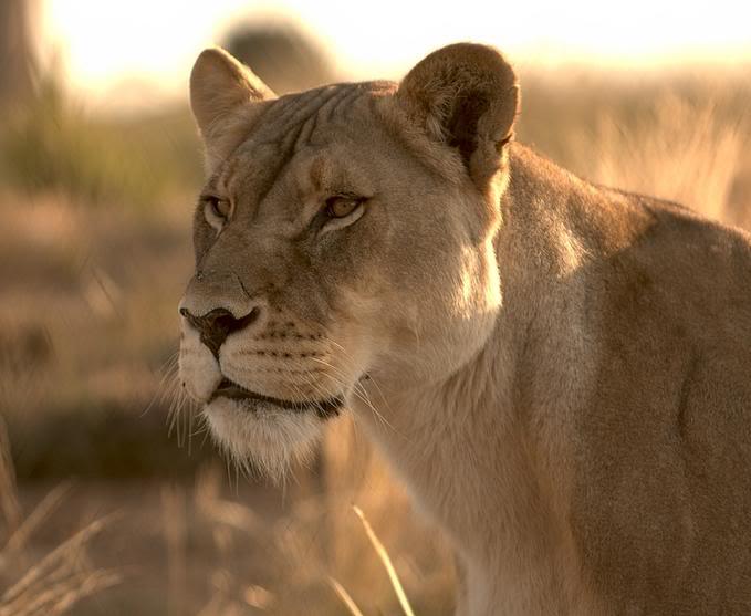 Big Cat - Kingdom in the clouds Lioness