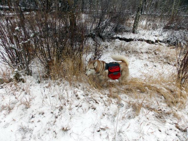 Claudia's husky birthday hike - Salt Lick Trail, Summit County *photo heavy* - Page 2 2012-11-10122930