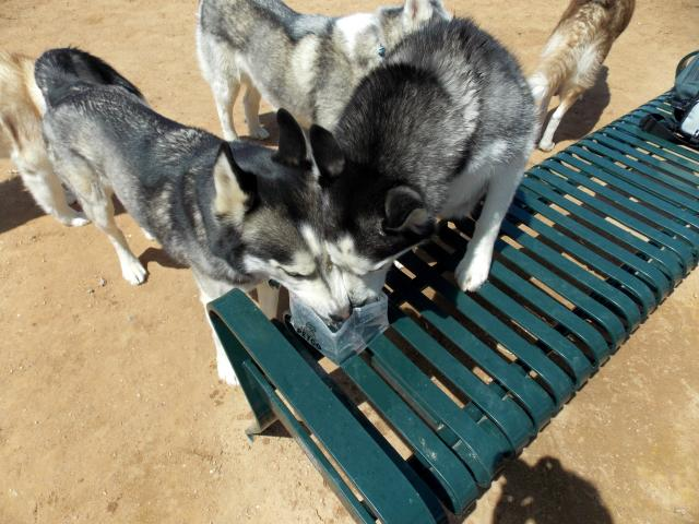 what do you get when you put 6 husky friends together.... 2011-12-31230000-103