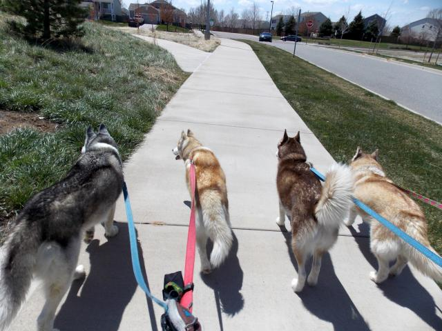 what do you get when you put 6 husky friends together.... 2011-12-31230000-115