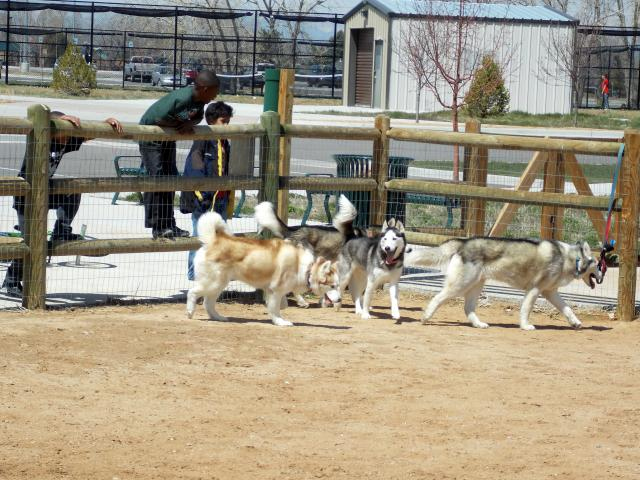what do you get when you put 6 husky friends together.... 2011-12-31230000-98