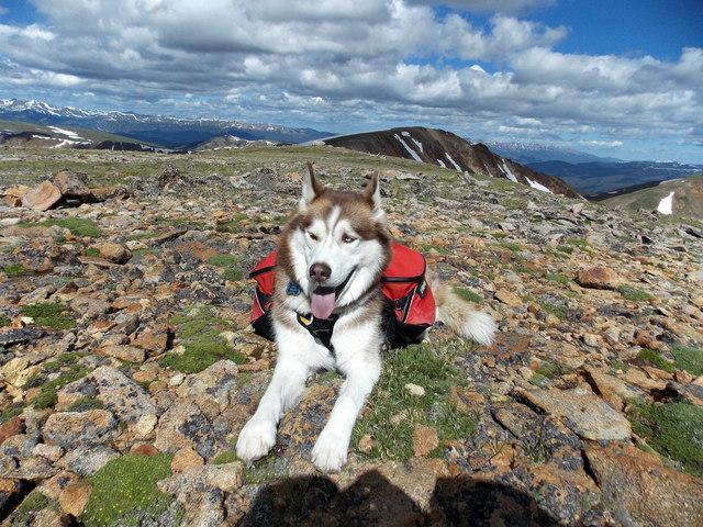 Topics tagged under 1 on It's a Husky Thing - Siberian Husky Forum DSCN2230