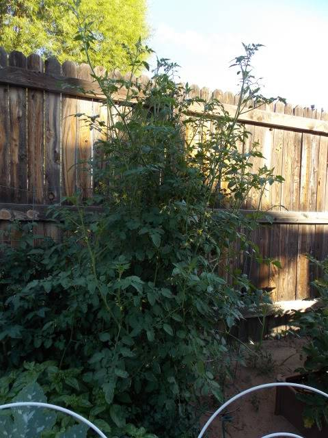 Jenn's Gardening Thread-2012 - Page 4 2012-08-03071837