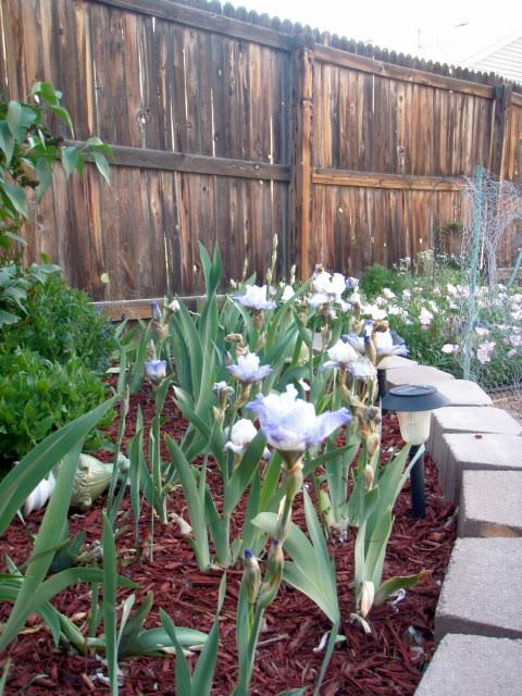 Jenn's Gardening Thread-2012 - Page 2 P5140711