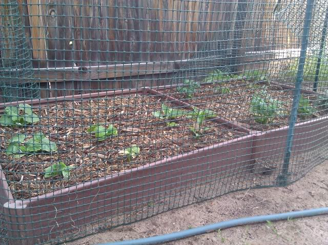 Jenn's Gardening Thread---what will this summer bring-2011 - Page 5 IMG_20110523_074616