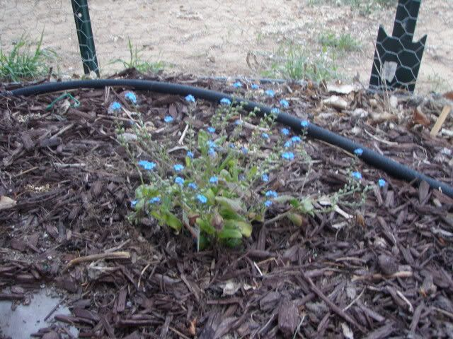Jenn's Gardening Thread---what will this summer bring-2011 - Page 4 P5081133