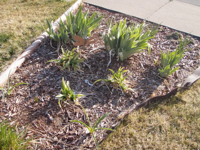 Jenn's Gardening Thread---what will this summer bring-2011 - Page 2 Irises
