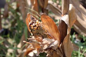 Monsanto, Roundup Ready and Bill gates Wise20aflatoxin1