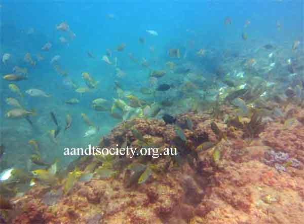 Caloundra to Dickies reef sites. 1dickies-reef-underwater-_zps9967c842