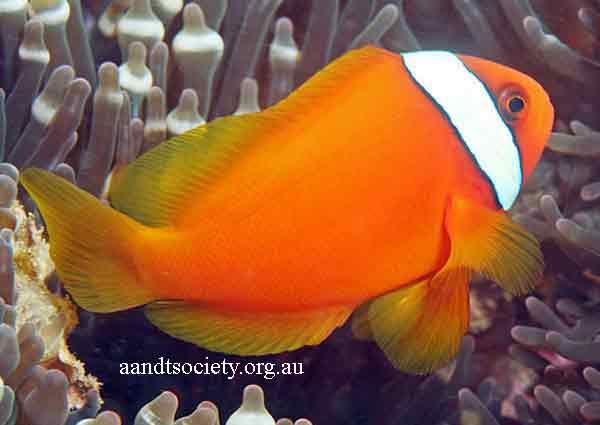 Clownfish breeds and history. Aa-frenatus-_zpsf93e1023
