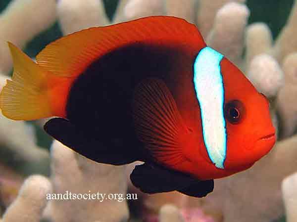 Clownfish breeds and history. Aa-melanopus-_zps2c596783