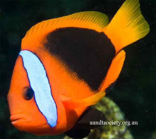 Clownfish breeds and history. Aa-vanuatu-melanopus-_zpsd387c88c