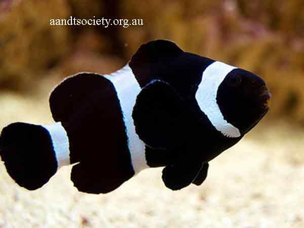 Clownfish breeds and history. Black-ocy-_zpsf442603b