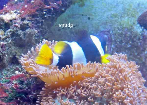 Clownfish breeds and history. Hybrod-in-morph-1-_zpsea4ea39d