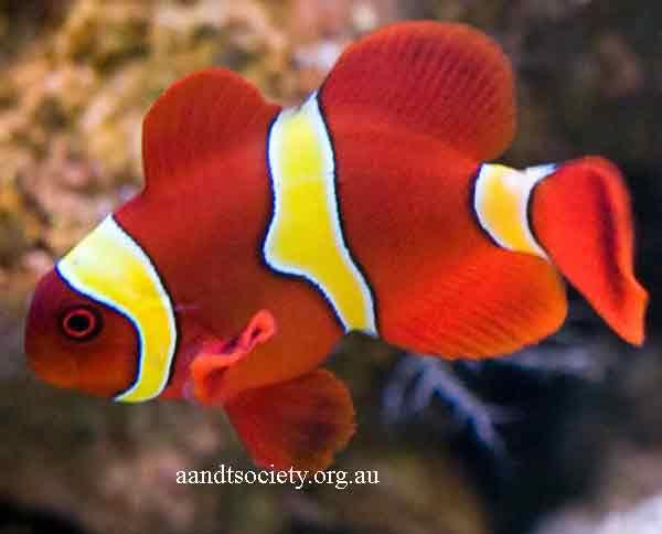 Clownfish breeds and history. Maroon-2-_zps6aa7e2bf