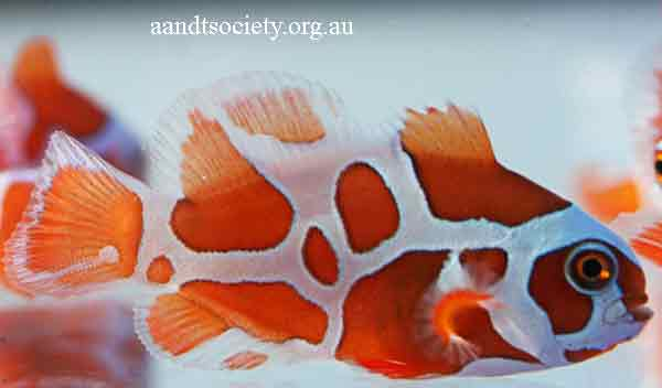 Clownfish breeds and history. Maroon-3-_zps156621b4