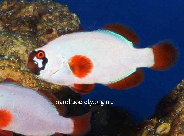 Clownfish breeds and history. Maroon-5-_zpsfb3619d1