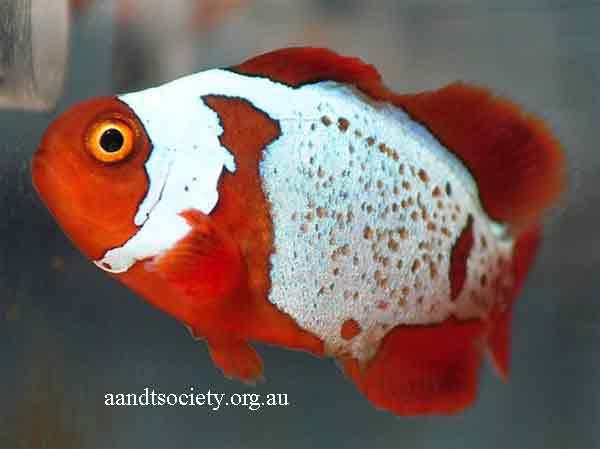 Clownfish breeds and history. Maroon-6-_zpsd0888604