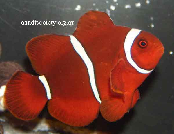 Clownfish breeds and history. Maroon_zps5eb1924f